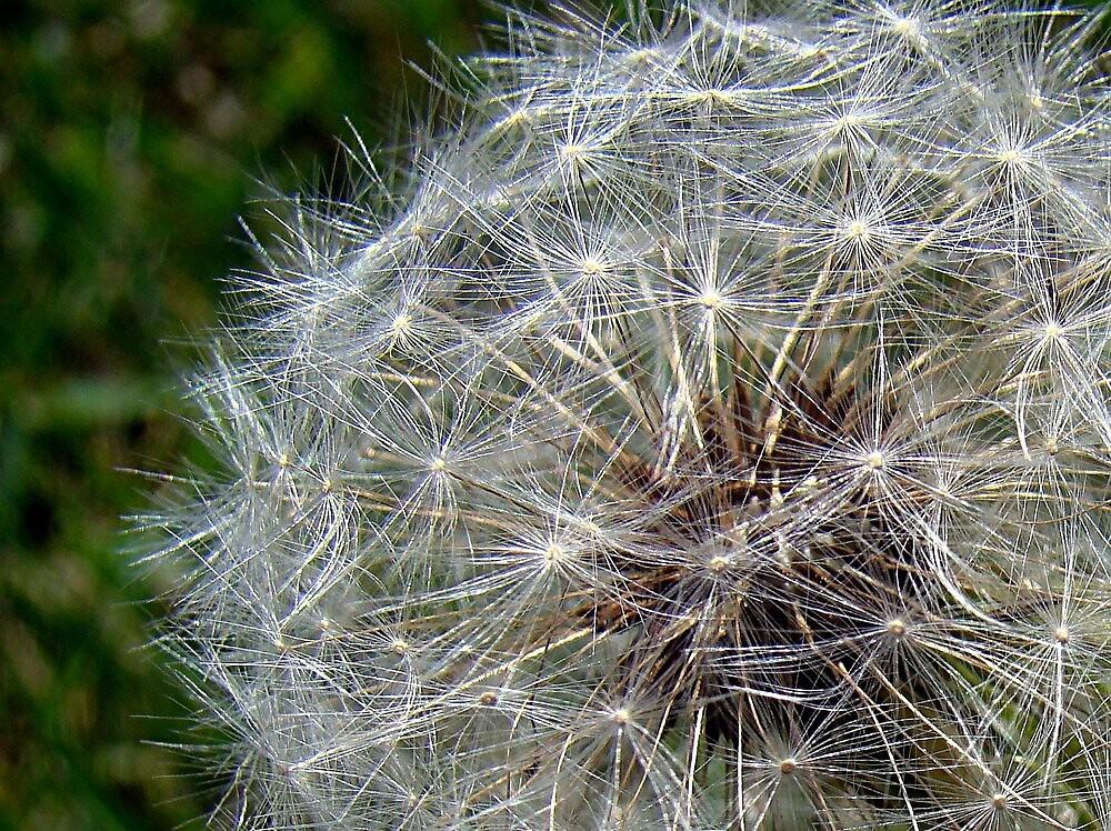 Dandelion Fluff! by PatChristensen