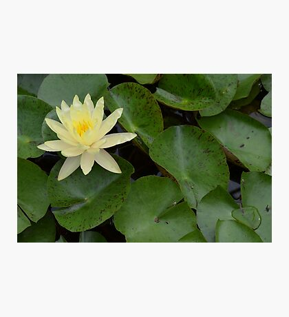 Light Yellow Water Lily Photographic Print