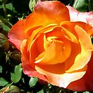 Peace Rose for Debi by Debbie Robbins