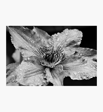 Clematis in the Rain Photographic Print