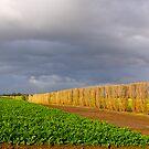 Carrot farming, Cardinia, Gippsland, Victoria. by johnrf