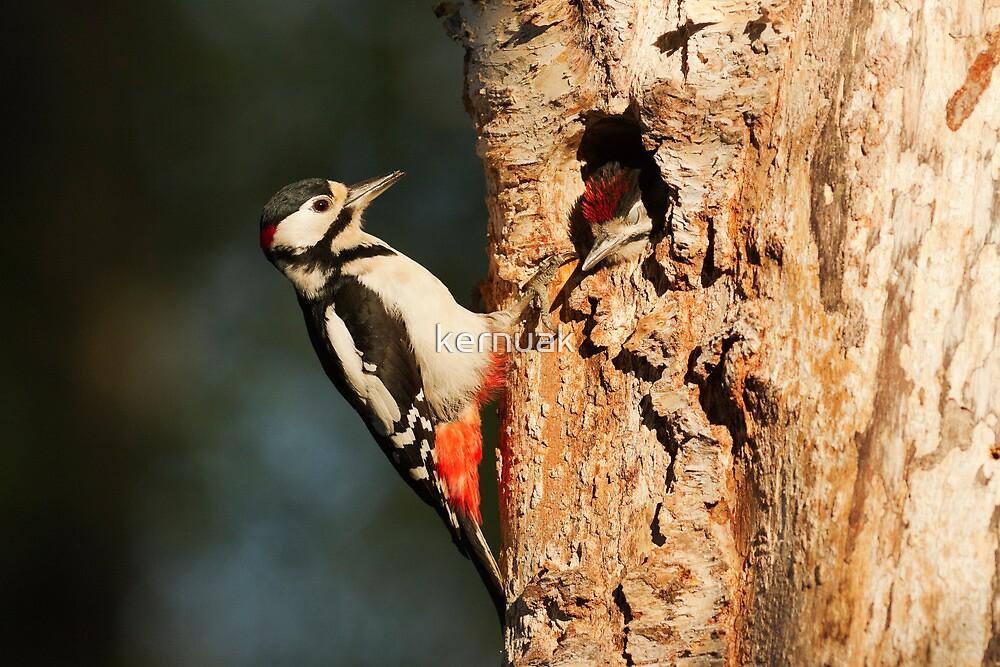 Male Great Spotted Woodpecker by kernuak