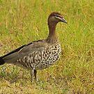 Female Australian Wood Duck by Robert Abraham
