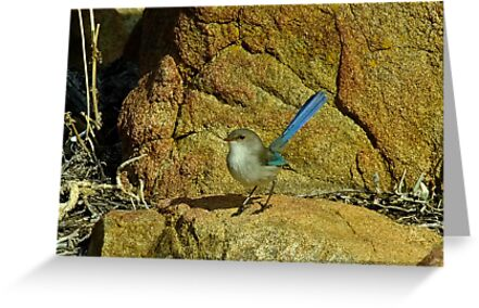 Another Blue Fairy Wren - Sugar Loaf Rock, Western Australia by Karen Stackpole