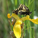 Swallowtail on Flag Iris by Lindamell