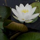 Water Lily by ElsT