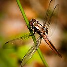 The Dragonfly by Jacinthe Brault
