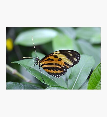 Orange, Yellow and Black Butterfly Photographic Print