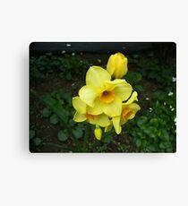 Multiple Daffodils Canvas Print