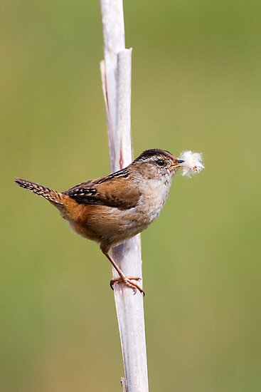Marsh Wren Nest Building by Randall Ingalls