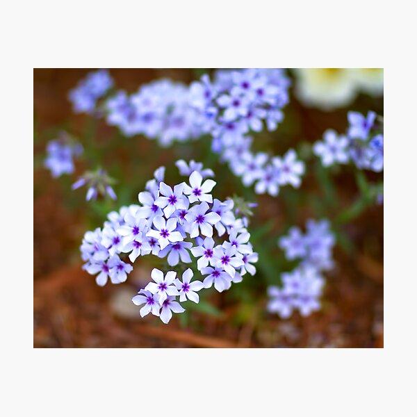Star Flowers Photographic Print
