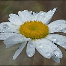 daisy drops by Helenvandy