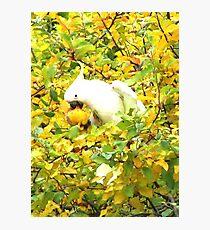 Sulphur-Crested Cockatoo Photographic Print