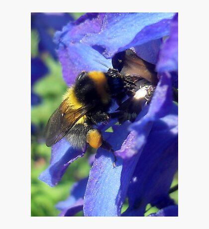 Bumblebee with pollen on delphinium Photographic Print