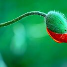 Birth of a Poppy by Robert Goulet