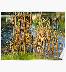 Swamp Grass and Shimmering Lake Poster