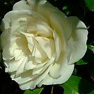 White rose 2 by Toby  hefford