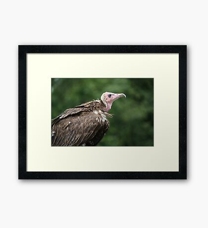 Birds of Prey Series No 8 Framed Print