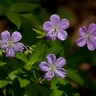 Spring Beauties by sundawg7