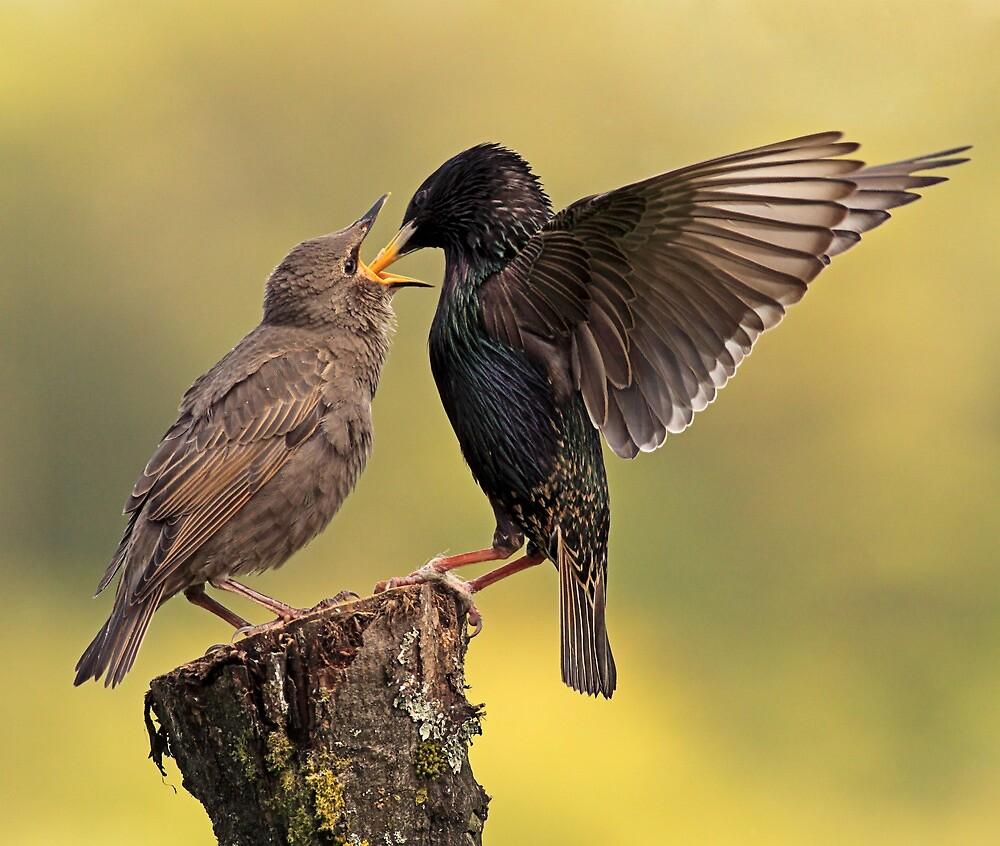 Starlings by Grant Glendinning