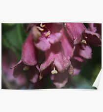 Early-flowering Weigela (Weigela praecox) Poster