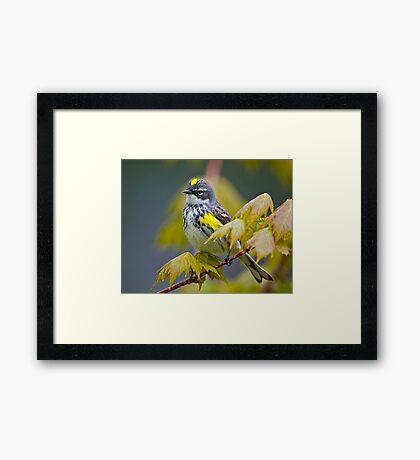 Yellow Rumped Warbler Framed Print