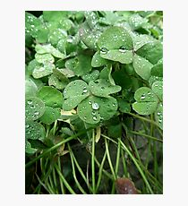 Dewy clover Photographic Print