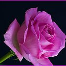 The Pink Rose  by DIANE  FIFIELD