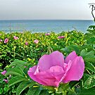 Beach Plum Blossom at Matunuck Beach - Rhode Island by Jack McCabe