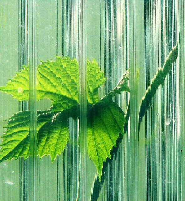 6.6.2011: Tomato Leaf in the Green Room by Petri Volanen