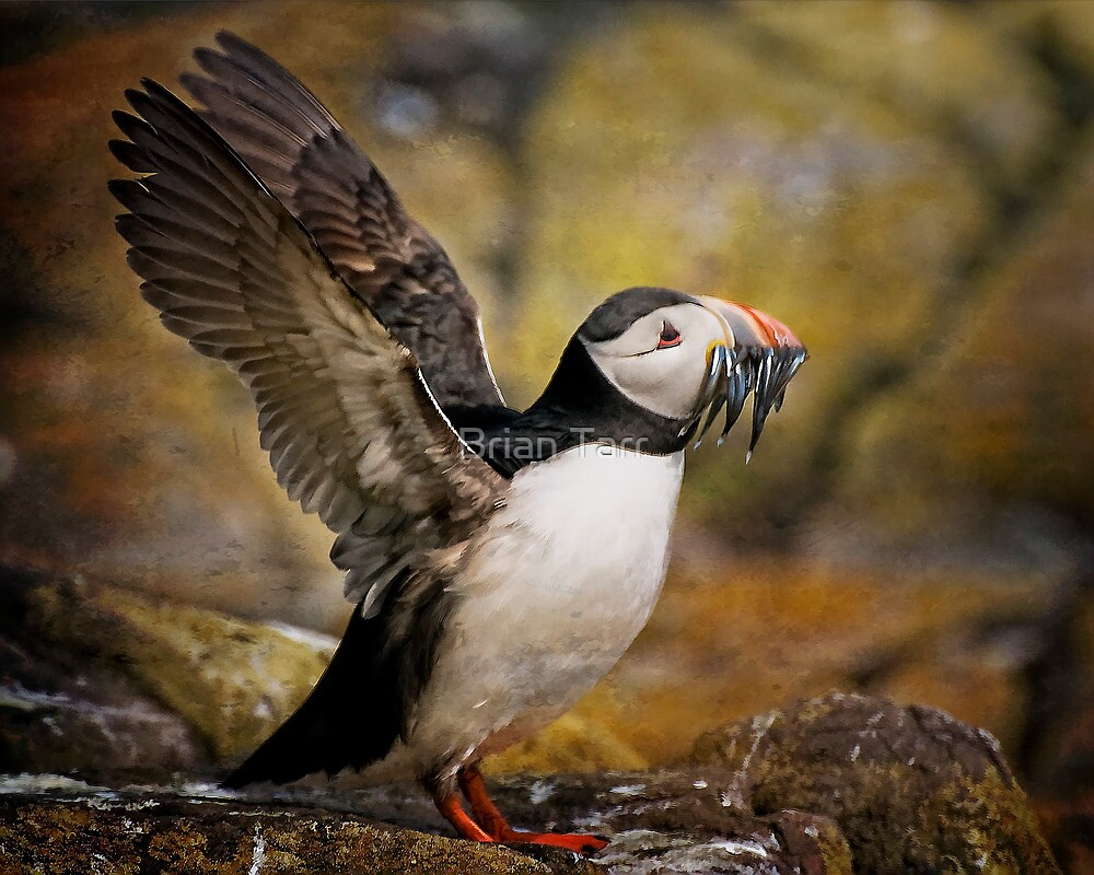 Puffin with sand eels by Brian Tarr