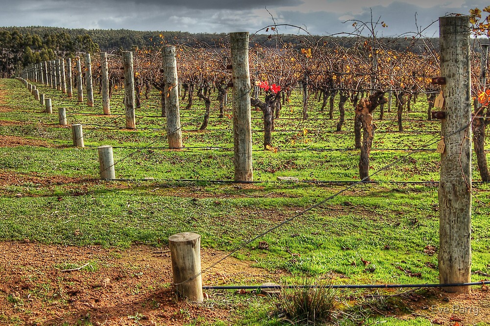A Frankland Vineyard by Eve Parry