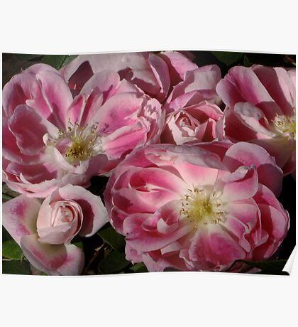 Rose Carefree Wonder Poster
