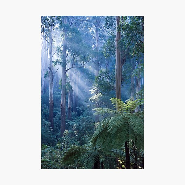 Tree ferns basking in evening light Photographic Print