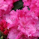 Pink Rhodies In Bloom by Chriss Pagani