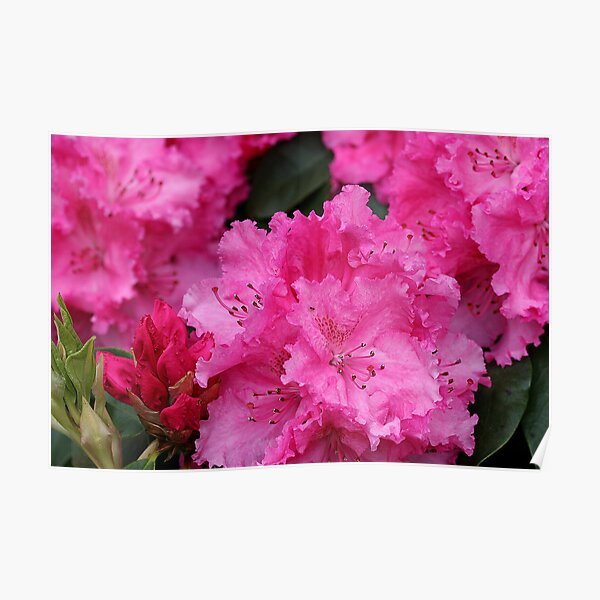 Pink Rhodies In Bloom Poster