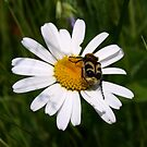 Daisy & Kafer (Beetle) by Lee d'Entremont