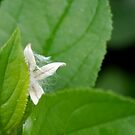 Peek-a-boo Fluff Seed by Robin Clifton