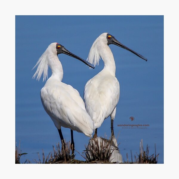 Royal Spoonbills Photographic Print