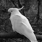 Wild Cockatoo in Black & White by Of Land & Ocean - Samantha Goode