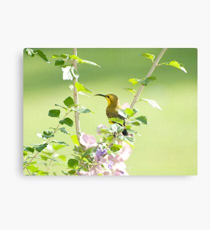 Mummy sunbird  Canvas Print
