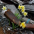 Narcissus in the disaster area , JAPAN by yoshiaki nagashima