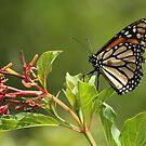 Monarch Butterfly by Mike Fischetti