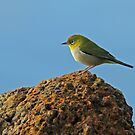 Silvereye For Andrea by Robert Abraham