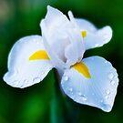 Morning iris by Jeffrey  Sinnock