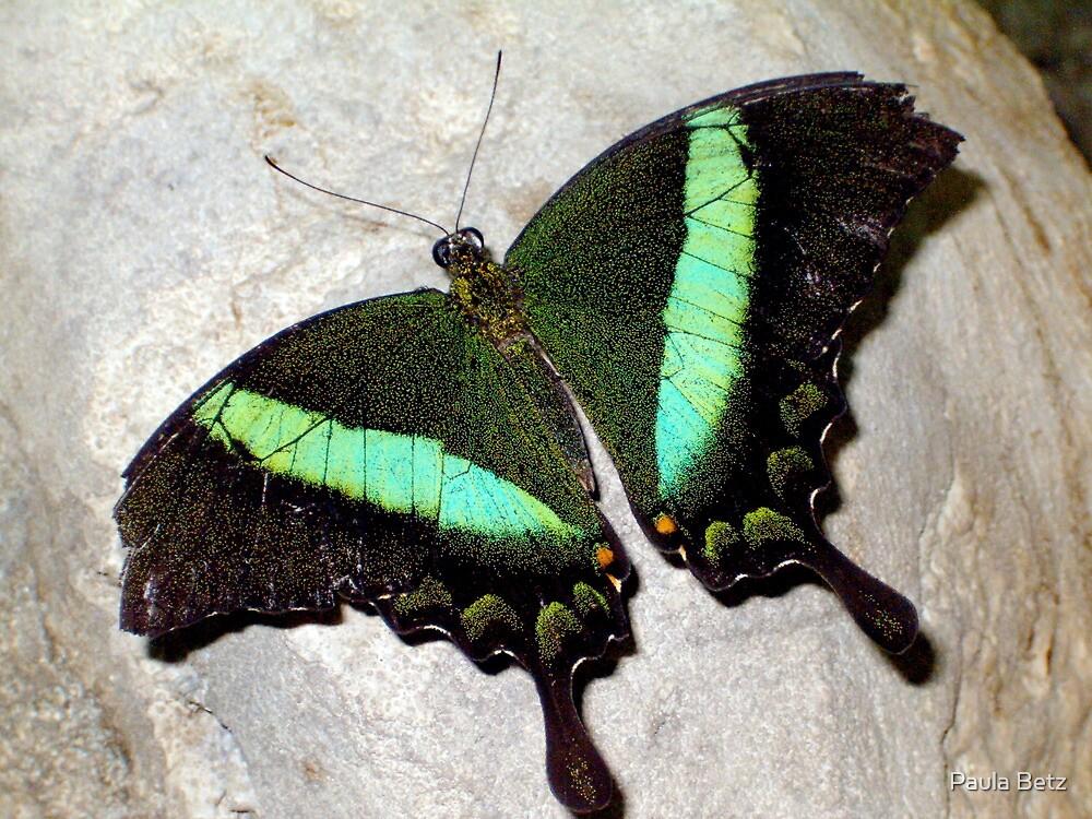 Green Banded Peacock by Paula Betz