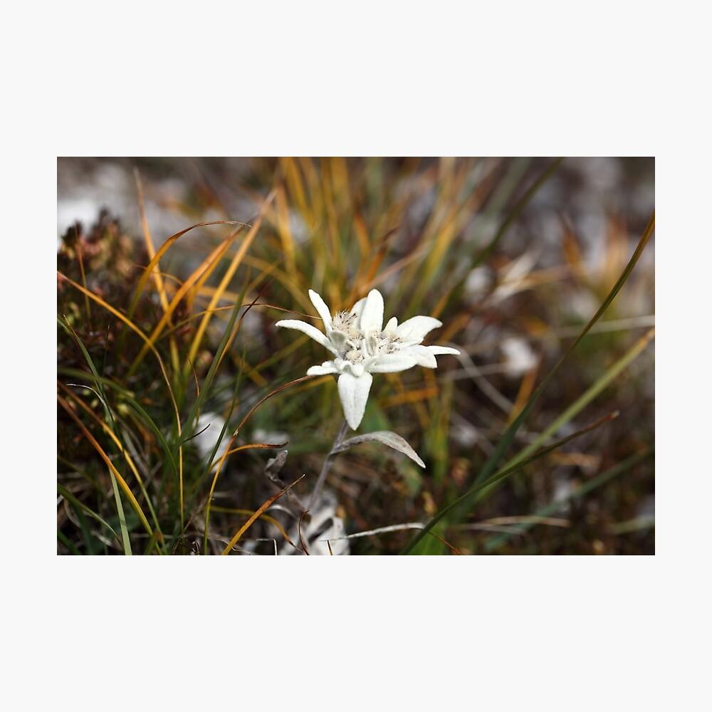 Alpine Edelweiss Photographic Print