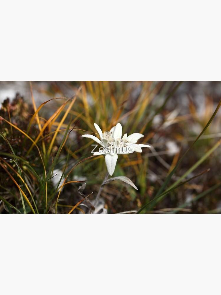 Alpine Edelweiss by Zosimus