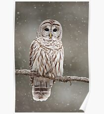 Barred Owl in heavy snowfall Poster