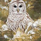 Barred Owl Perched in Snowy Tree by Greg Schneider